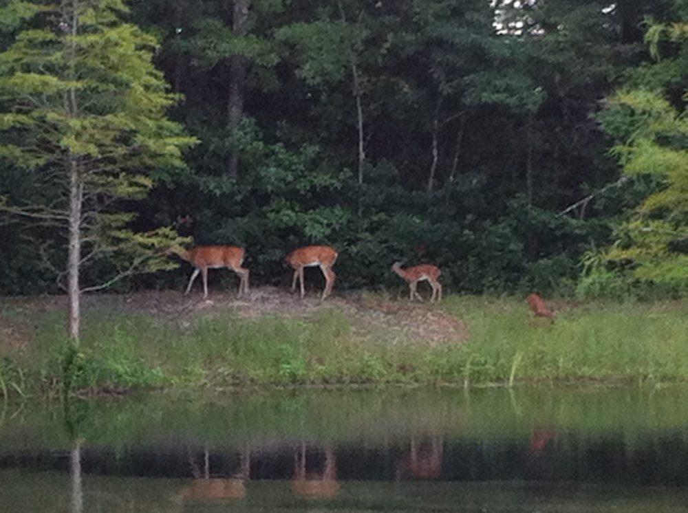 Deer by Water